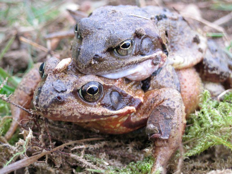Das Kröten-Männchen lässt sich huckepack vom Weibchen tragen